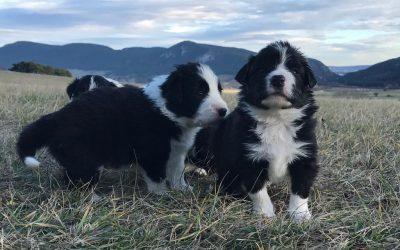 Erster Ausflug mit den Border Collie Babys