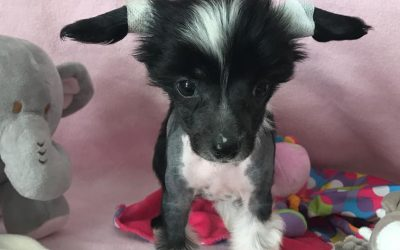 Chinese Crested B-Wurf – 7. Woche